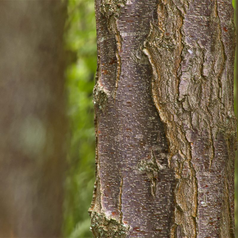 The image shows a close-up render made using the birch tree bark material from Friendly Shade library